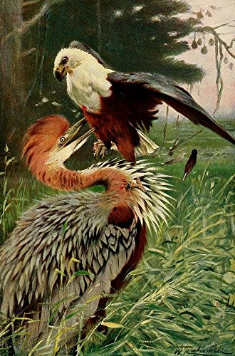 fw-kuhnert-wild-life-of-the-world-1916-giant-heron-sea-eagle-artistica-di-stampa-6096-x-9144-cm
