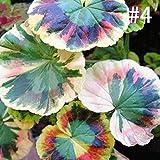 100Stk Farbigen Gras Samen, Buntnessel Samen,Coleus Samen Bonsai Topfpflanzen mehrjährige Pflanze Blume Samen für Haus Garten Dekor