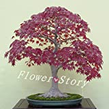 50 Seed Japanese Maple Bonsai Tree Red M...