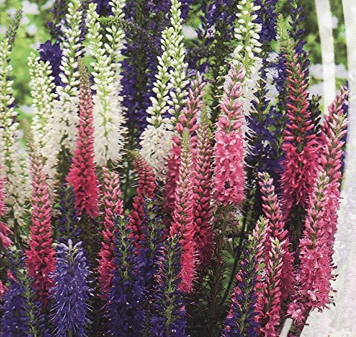 Portal Cool Semi di fiore organico Veronica Spicata MIX. Perrennials Da Ukraine