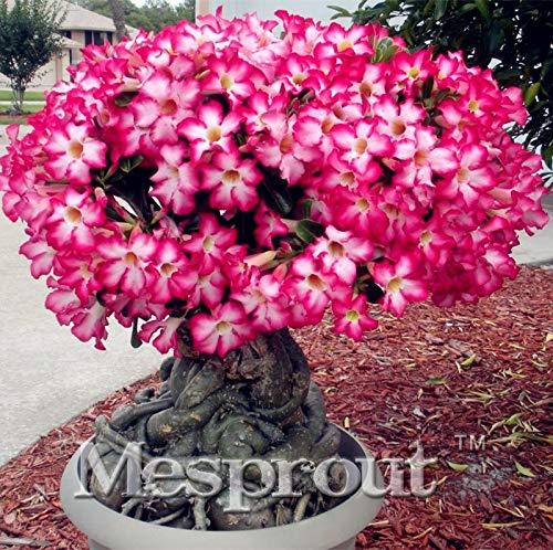 Bloom green co. 1 pz reale adenium obesum bonsai fiore rosa del deserto bonsai giardino della casa bonsai germinazione delle piante succulente 99% di colori della miscela order: mix