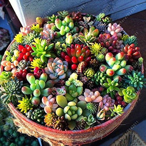 Fuanxi misto 100 semi succulente piante lithops pseudotruncatella semi cactus e piante grasse per bonsai, balcone, casa, giardino ornamento