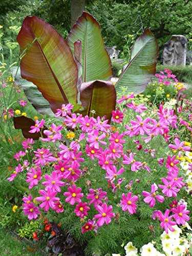 . Blumensamen: Cosmos Scrub Blumensamen Blumensamen für Container (3 Pakete) Gartenpflanzensamen -