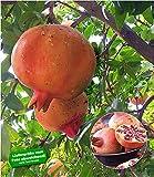 BALDUR-Garten Granatapfel, 1 Pflanze Punica granatum Granatapfelbaum winterhart bis -15°C