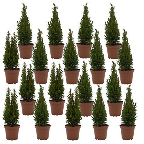 """Dominik Blumen und Pflanzen, Lebensbaum-Hecke \""""Brabant\"""", 18 Pflanzen für ca. 6 Meter Hecke, 20 - 30 cm hoch, 0,9 Liter Topf, immergrün, plus 1 Paar Handschuhe gratis"""