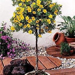 Dominik Blumen und Pflanzen, Fünffingerstrauch Potentilla fruticosa zum Stämmchen gezogen gelb blühend, 1 Pflanze, 3 Liter Container, 60 - 80 cm hoch, plus 1 Paar Handschuhe gratis