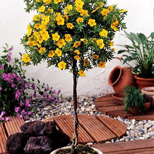 Dominik Blumen und Pflanzen, Fünffingerstrauch Potentilla fruticosa zum Stämmchen gezogen gelb blühend, 1 Pflanze, 3 Liter Container, 60 - 80 cm hoch, plus 1 Paar...
