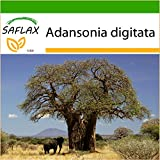 SAFLAX - Afrikanischer Affenbrotbaum - 6 Samen - Mit Substrat - Adansonia digitata