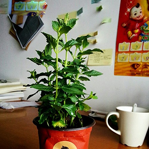 perdida-de-la-promocion-30-semillas-bolsa-de-semillas-de-flor-de-la-linterna-que-cuelga-semillas-zho