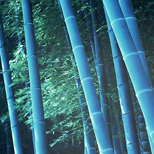 60 semi / bag rari blu Moso Bambù Semi MOSO Bamboo Tree Seeds