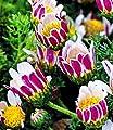 BALDUR-Garten Winterharter Bodendecker Afrikanisches Ringkörbchen, 3 Pflanzen Anacyclus depressus von Baldur-Garten auf Du und dein Garten