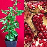 PLAT FIRM Germinazione I semi PLATFIRM-Melograno Punica granatum Indian River pianta piantina albero da frutto in vaso 4-8'