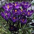 Frühlings Krokus Flower Record Großblumig 50 / 100 Blumenzwiebeln Wuchshöhe ca. bis 15 cm von Peciborsc Pflanzenraritäten bei Du und dein Garten