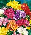 BALDUR-Garten Gefüllte Duft-Freesien Mischung, 25 Stück Freesia Hybride von Baldur-Garten - Du und dein Garten