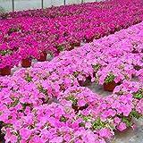 LUFA 100 teile / beutel Petunia Blumensamen Hängen Topf Bonsai Hausgarten Pflanzen Samen