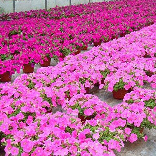 Sunlera 100pcs/Beutel Petunia Blumensamen Hängen Topf Bonsai Home Garten Pflanzen von Samen