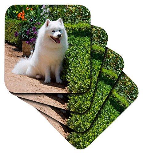 Danita Delimont–Hunde–American Eskimo Hund–US05zmu0082–Zandria Muench Beraldo–Untersetzer, set-of-4-Soft