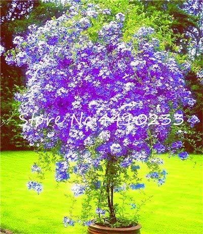 Pinkdose 100 Stücke Plumbago Auriculata Bonsai Exotische Staude Blumen Bonsai Haus Garten Dekor Pflanze Ceratostigma Plumbaginoides Bonsai: f