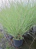 Miscanthus sinensis Kleine Silberspinne - Garten-Chinaschilf