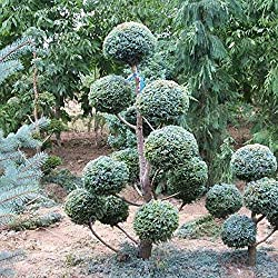 Shopmeeko 50 Stücke Runde Zypresse Pflanzen Schöne Zypresse Pflanzen Bonsai Für DIY Hausgarten Pflanzen Sehr Einfach Wachsen Outdoor Pflanzen: CYPRESS SEEDS