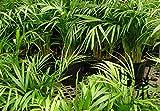 Bamboo Palm Chrysalidocarpus Lutescens Samen 60pcs, Schmetterling Palm Dypsis Lutescens Samen, Gelb Areca Palm San Wei Kui Seeds