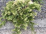 Juniperus horizontalis Golden Carpet - gelber Teppichwacholder