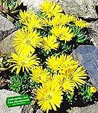BALDUR-Garten Winterharter Bodendecker Goldtaler, 2 Pflanzen Delosperma congestum Steingarten