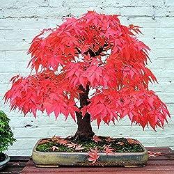 Bornbayb 20 Stücke Ahorn Samen Bonsai Ahornbaum Samen Bonsai Bäume für Indoor Garten Pflanzen