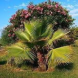 Baumwolle Palm, Wüste Fan Palm Samen - Kalifornische washingtonpalme