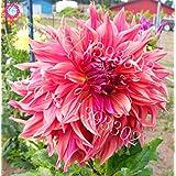 100PCS Perenne Flores Semillas Vary Colores Dalias Semillas de plantas en maceta flor magnífica Balcón Para el hogar decoración de jardín 12