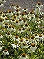 Echinacea purpurea Alba - Weißer Sonnenhut, 3 Pflanzen von Dachstauden - Du und dein Garten
