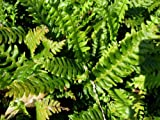 Staudenkulturen Wauschkuhn Blechnum spicant - Rippenfarn - Farn im 9cm