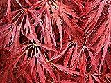 20 Samen von Pendulum Julian Cut Blatt Japanischer Ahorn - Acer palmatum Var. Dissectum