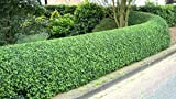 350 lingustrum Comune sinense ligustro arbustive/semi topiaria