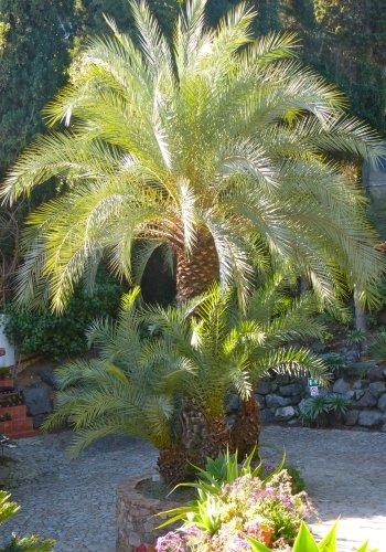 TROPICA - Kretische Dattelpalme ( Phoenix theophrasti ) - 10 Samen