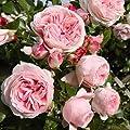 lichtnelke - Kletterrose 'GIARDINA' Romantisch rosa süsser Duft von Lichtnelke Pflanzenversand bei Du und dein Garten