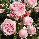 lichtnelke - Kletterrose 'GIARDINA' Romantisch rosa süsser Duft