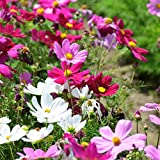 GROSEEDS - Annual Flowers, Cosmos - Sensation Mixed - FA-COS-03. 120 Seeds Minimum per Packet.