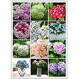 200pcs / semilla bolsa de hortensias, hortensias china, flor hortensia bonsai, el crecimiento natural para el jardín de su casa