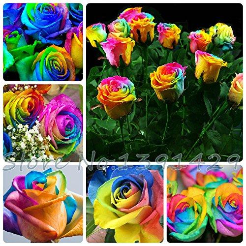 100 graines Rare Pays-Bas Rainbow Rose Flower Amoureux multicolores Les plantes jardin arc-en-rose rare graines de fleurs
