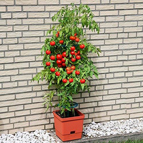 tomaten-tower