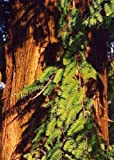 TROPICA - Urwelt - Mammutbaum (Metasequoia glyptostroboides) - 60 Samen