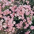 Bodend.Rose 'Sommerwind' -R- ADR-Rose im 4 L Container von Rosen-Union bei Du und dein Garten