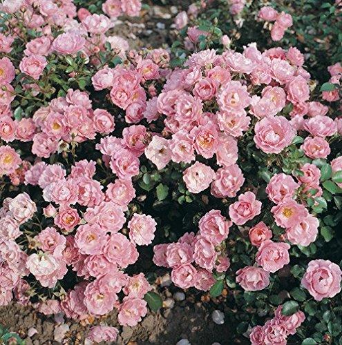'Sommerwind' -R-, Kleinstrauchrose ADR-Rose im 4 L Container