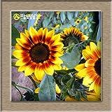 50 semillas / bolsa 8 colores disponibles Semillas de girasol Semillas Orgánica helianthus annuus flor ornamental Semillas de plantas para jardinería