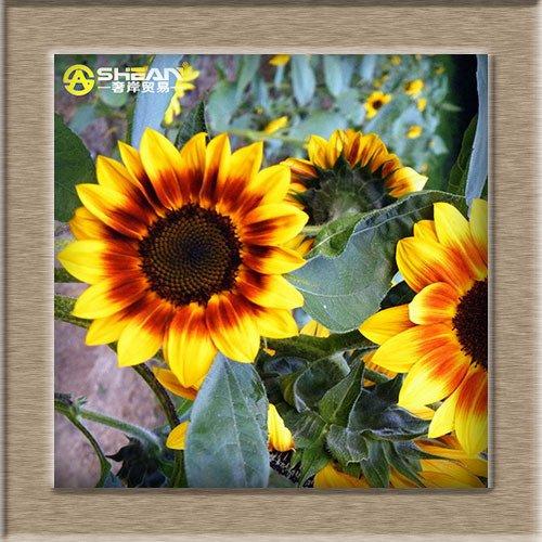 50-semillas-bolsa-8-colores-disponibles-semillas-de-girasol-semillas-organica-helianthus-annuus-flor