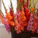 ABN Retail Gladiolus Sword Lily Flower Bulbs (Multicolour) - Pack of 10