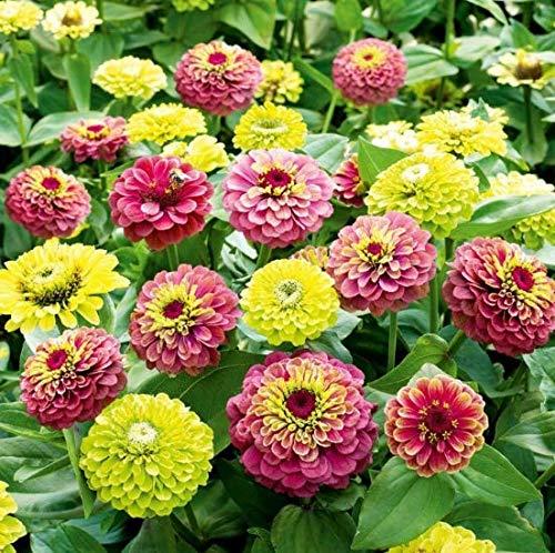 Yukio Samenhaus - Rarität Blumenmischung Zinnien 'Red Lime' & 'Green Lime' Blumensamen Sommerblume Mischung Saatgut mehrjährig winterhart pflegeleicht