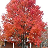 Farmerly Amur Maple Feuer-Ahorn Flame - 30 + Seeds