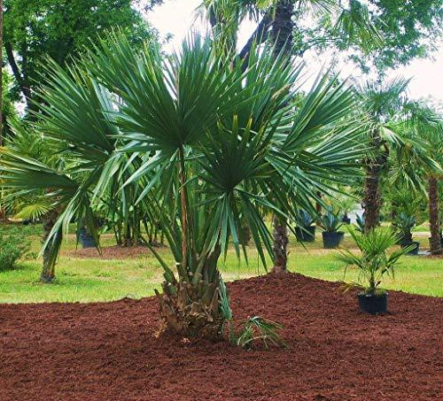 Portal Cool Sabal Minor Dwarf Palmetto Palm 10 Samen